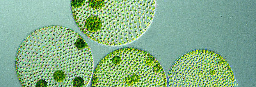 microalgues